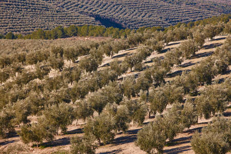 Olive tree fields in Andalusia. Spanish agricultural harvest landscape. Jaen Stockfoto
