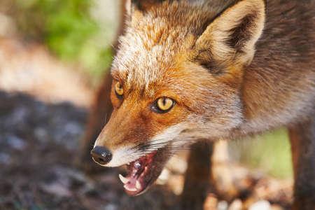 Detalle de cabeza de zorro agresivo. Fauna carnívora de mamíferos. Horizontal