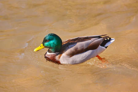 Mallard swimming on a pond. Anas platyrhynchos. Wild nature outdoor