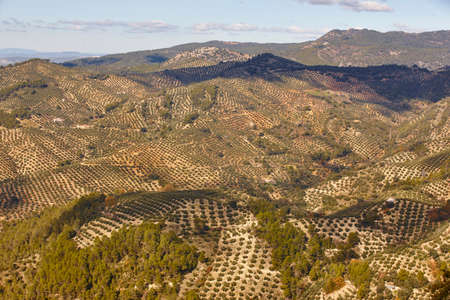Olive tree fields in Andalusia. Spanish agricultural harvest landscape. Jaen Standard-Bild