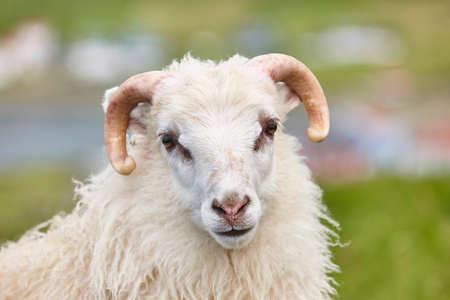 Sheep grazing on Faroe islands coastline. Green scenic landscape Stock Photo