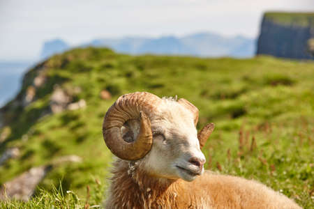 Sheep lamb grazing on the Faroe islands green meadows. Scenery