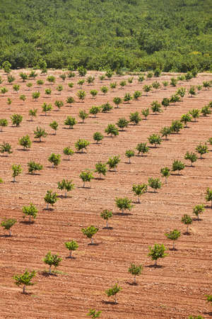 Lemon orchad in Murcia, Spain. Citrus healthy industry agriculture. Vertical