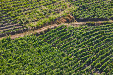 Terrace vineyards in Ribeira sacra. Ourense, Spain. Agriculture and viticulture