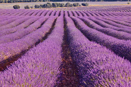 Lavender fields in summer. Guadalajara, Spain. Agriculture Stock Photo