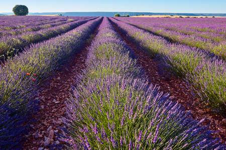 Lavender fields in summer. Brihuega, Guadalajara. Spain. Agriculture