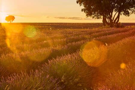 Lavender fields at sunset in Brihuega. Guadalajara, Spain. Agriculture Stock Photo