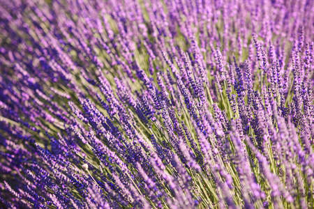Lavender fields detail in summer. Guadalajara, Spain. Agriculture