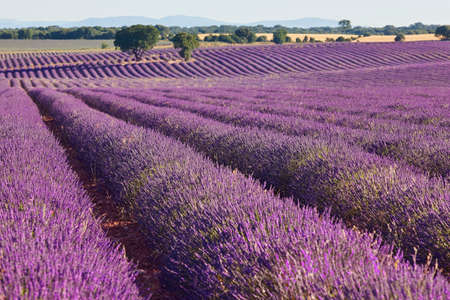 Lavender fields in summer. Guadalajara, Spain. Agriculture in Brihuega Stock Photo