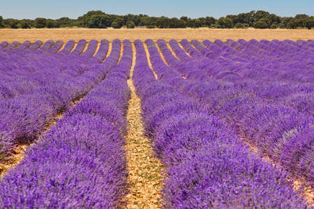 Lavender fields in summer. Guadalajara, Spain. Agriculture Stock Photo