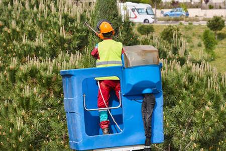 Urban gardener pruning a cypress on a crane. Seasonal maintenance Stock Photo