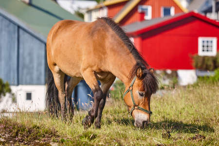 Horse in Faroe islands surrounded by colorful picturesque houses. Outdoor