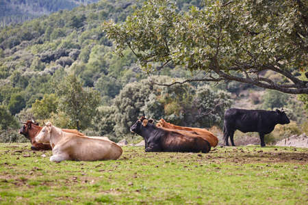 Cows grazing in the countryside on a sunny day. Agriculture
