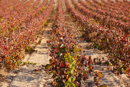 Vineyards plantation in Utiel Requena. Harvest time. Valencia, Spain