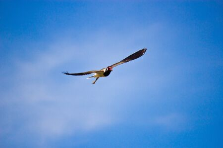 Red-wattled Lapwing Bird flying on sky background  photo