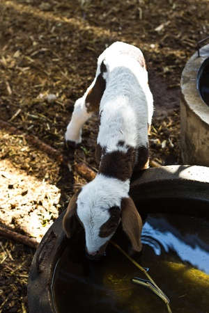 little lambs drinking water. photo