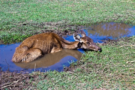 Deer lying in the pond. photo