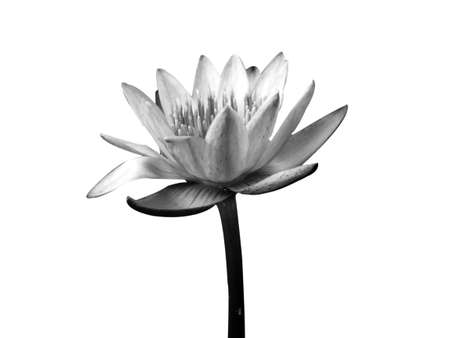 Lotus flower in black and white isolated on white background Stock Photo - 13251272