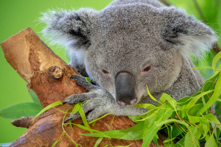 Mother Koala Bear Resting