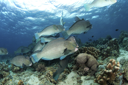 humphead: School of Humphead Parrotfish Stock Photo