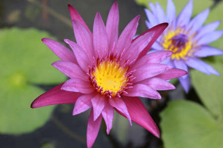 hydrophyte: beauty pink lotus flower Stock Photo