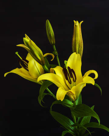 Yellow lily flowers with black background photo