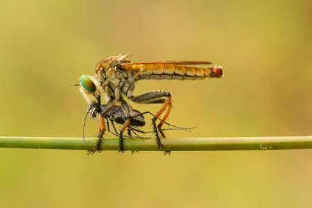 The Predator is the right sentence to describe the ferocity of this small animal called Robber Fly, very ferocious once preyed on other small insects while they were flying, grabbed it and took it.