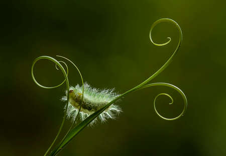 This caterpillar is very beautiful with beautiful feathers and very attractive colors. But behind her beauty she saves a little danger because her fur contains poison which when exposed to the skin.