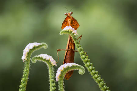 This brown mantis is very exotic with a unique neck like wings which is quite rare, usually lives in the forest and disguises itself among dry leaves.