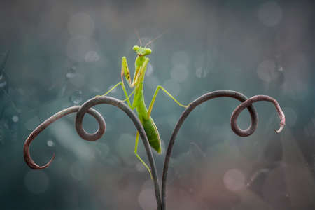 this is the type of mantish that is most often found, they are very tame so easy to photograph, this praying mantis also has a unique and beautiful pose.