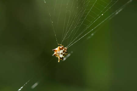 Horned spider lives predominantly in primary forest. As members of the orb-weaver family of spiders, these amazing creatures build the typical circular web of their cousins across pathways