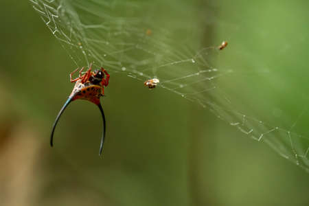 Horned spider lives predominantly in primary forest. As members of the orb-weaver family of spiders, these amazing creatures build the typical circular web of their cousins across pathways Foto de archivo