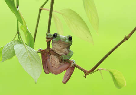 Tree frogs live attached to tree trunks and leaves in the forest where they await small insects as prey, usually found in damp and wet forests.