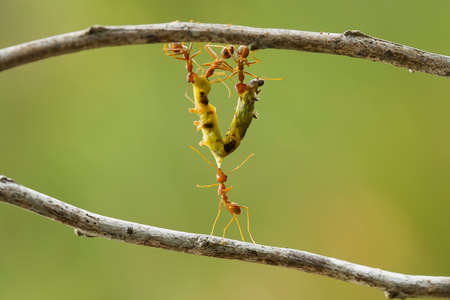 These Red Ants live in colonies, they have necks and strong bites, always cooperate in making nests and foraging and bringing food into the nest