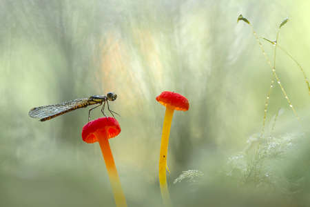 These gold dragonflies really enjoy being around stagnant water, they colonize and fly around the water, for us this dragonfly is a sign that the water is clean and fit for consumption. Stock Photo