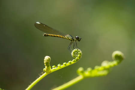 These gold dragonflies really enjoy being around stagnant water, they colonize and fly around the water, for us this dragonfly is a sign that the water is clean and fit for consumption.