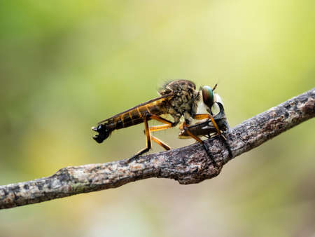 robberfly catching a prey Stock Photo