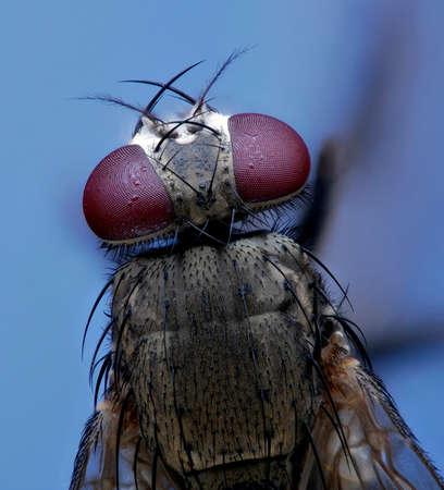macro extrême de mouches du haut Banque d'images