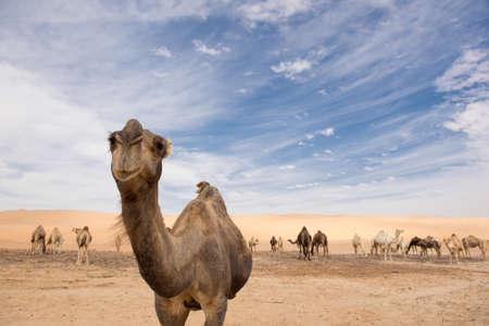 Posing Camel Stock Photo