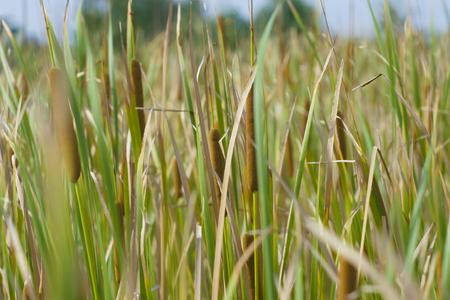 bulrush: Typha latifolia plant also known as bulrush, reedmace, cattail, corn dog grass and cumbungi.