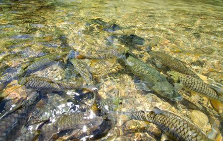 mahseer: SABAH, MALAYSIA - MAY 19, 2011: Mahseer or Ikan Kelah at Sungai Maroli, Ranau.