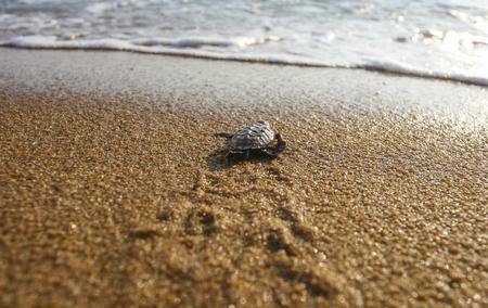 赤ちゃんカメ (タイマイ海) は、砂から飛び出して、海に向かってよちよち歩き出しました。