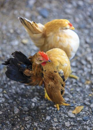 Fire Rooster. Stok Fotoğraf