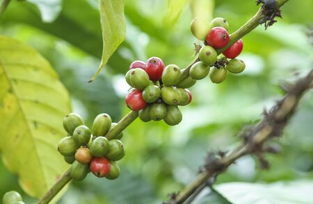 Fresh green and red coffee beans on the branches of the coffee tree in farm and plantation.