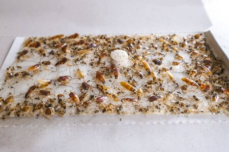 Cockroaches stuck at sticky adhesive trap bait. Pest control for house and car.