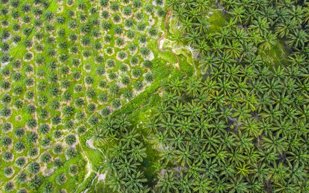 Aerial view of oil palm tree plantation in Malaysia.