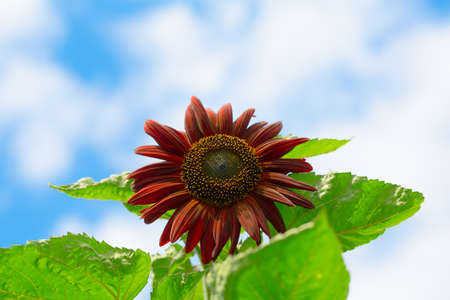 Beautiful Sunflower photo
