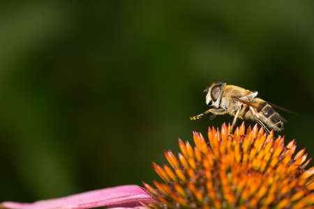 legs up: Bee on colorful flower legs up macro view Stock Photo