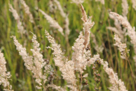 spikelets: Spikelets in summer
