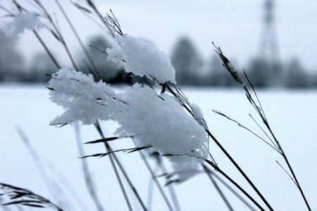 spikelets: Spikelets covered by snow in winter